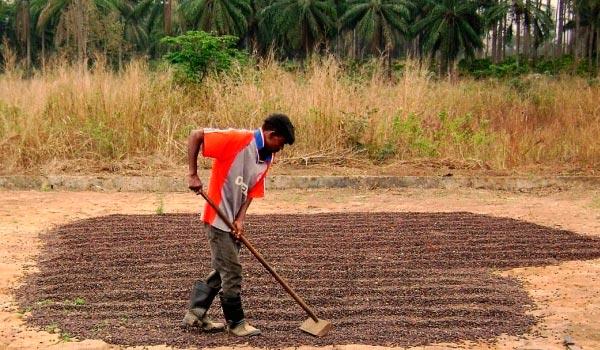 Кофе из Анголы: благородство вкуса и аромата