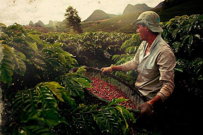 Як збирають каву в Бразилії