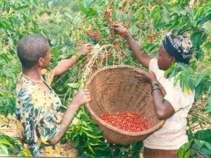 Кава з Бурунді: творення ідеального клімату