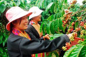 Кава з В'єтнаму - фортеця і насиченість в сильному і яскравому ароматі